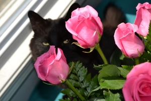 Black cat peering behind pink roses